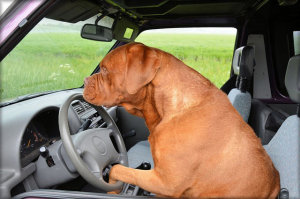 Hund im Auto ohne Hundebox